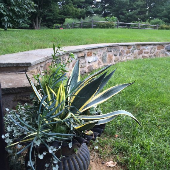 Dyer Pool Agave container