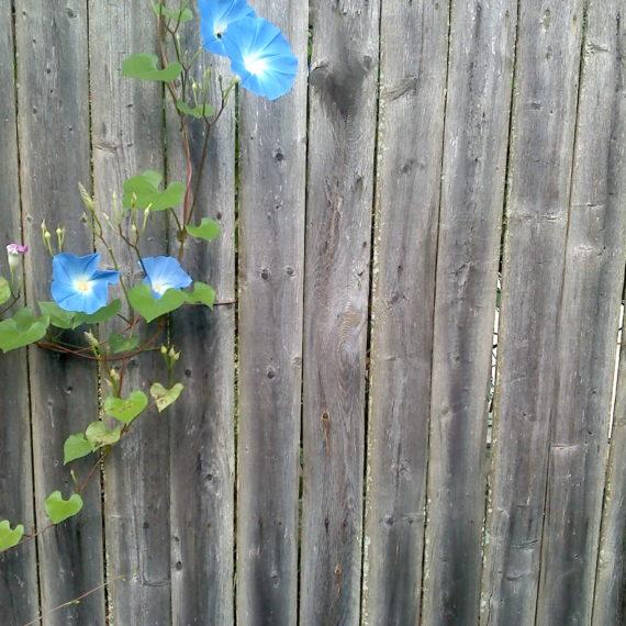 Blue Morning Glory on Grey Cedar Fence
