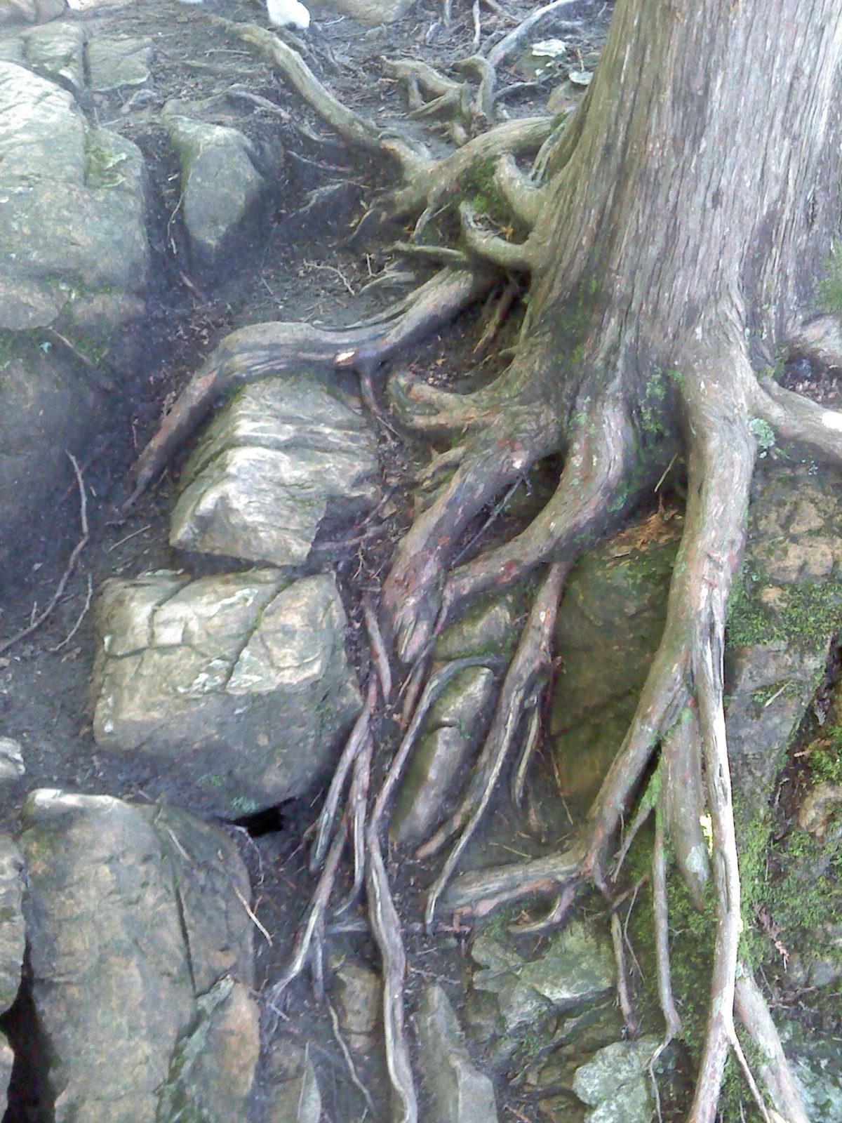 VT Hemlock Rock Roots